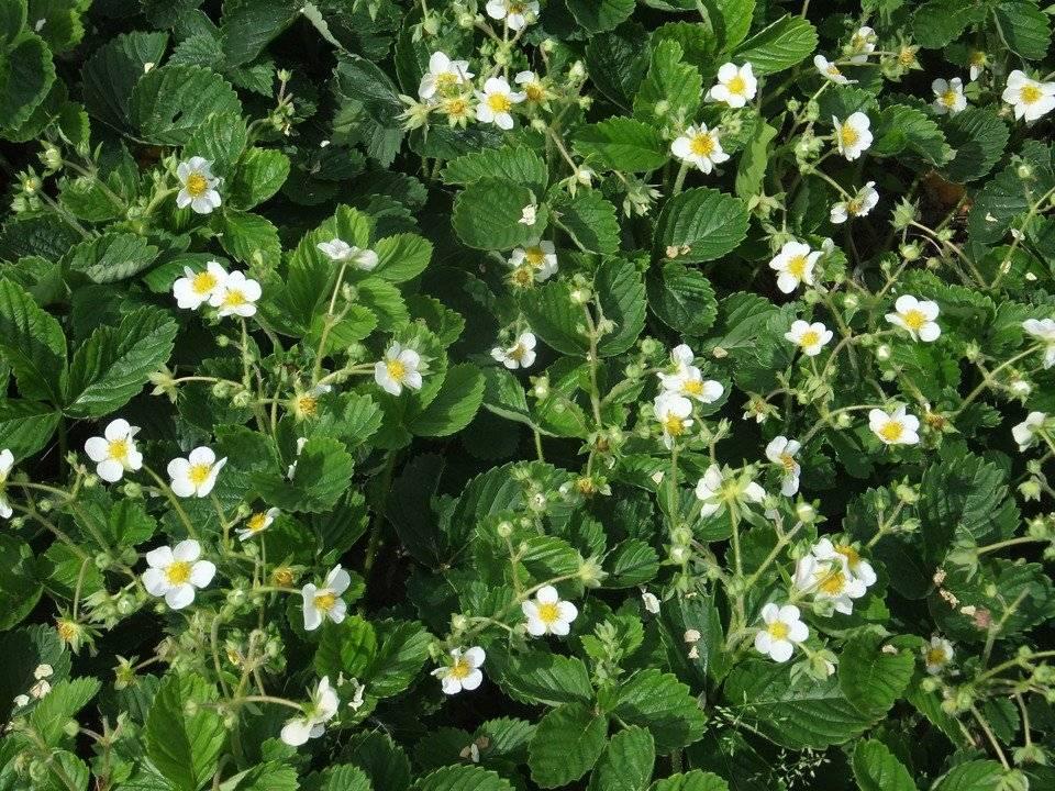 Клубника элиане: подробное описание сорта, правила выращивания, посадки и размножения (130 фото и видео)
