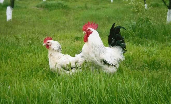 Адлерская порода кур – описание, фото