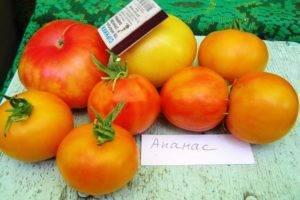 Хлыновский: подробное описание и техника выращивания мясистого томата