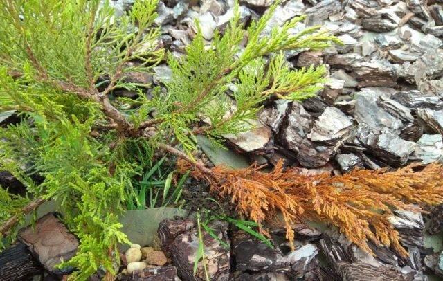 Пожелтел можжевельник после зимы: причины и лечение