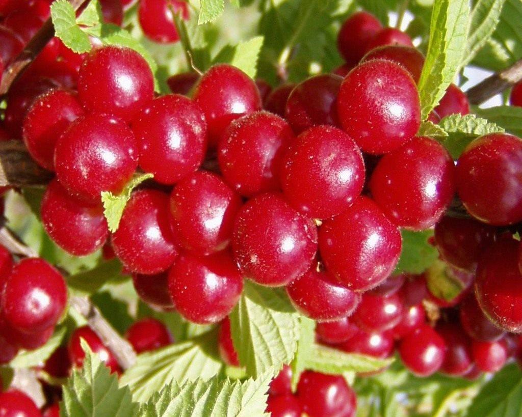 Войлочная вишня: разнообразие сортов и особенности выращивания