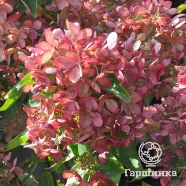 Гортензия черешковая: описание и разновидности, посадка и уход