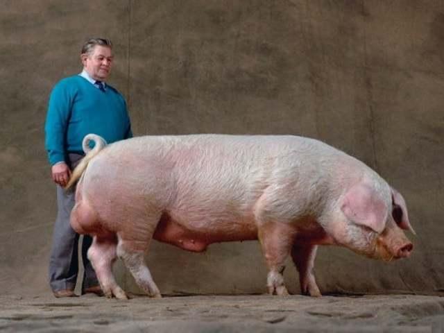 Наиболее продуктивные породы свиней мясного направления