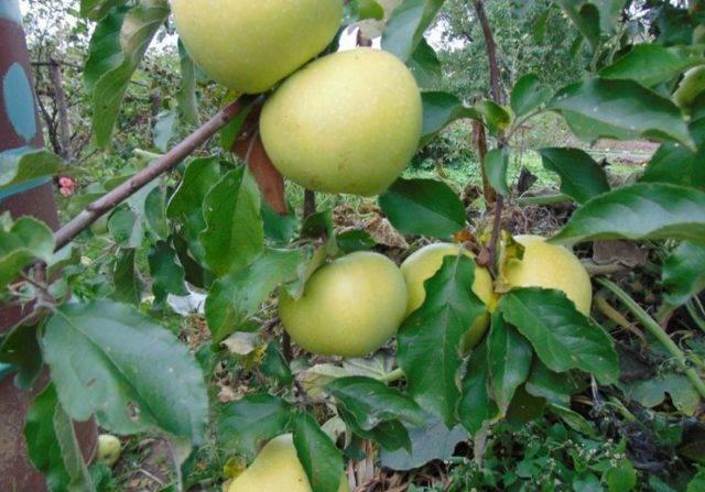 Яблоня Северная зорька: описание, опылители, фото и отзывы