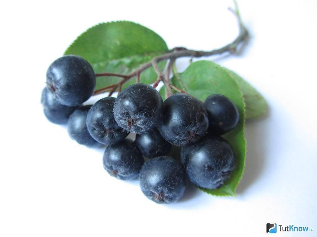 Рябина черная: полезные свойства, противопоказания. рецепты заготовок на зиму
