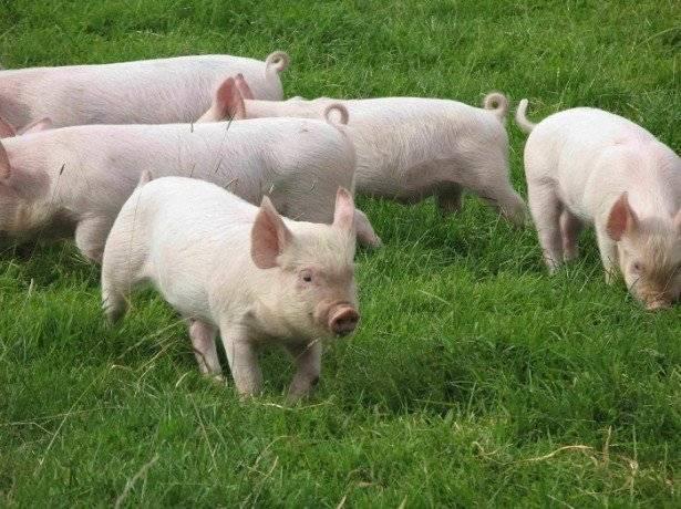 Опорос свиней — подготовка к процедуре, особенности ухода, разведения и 105 фото выращивания