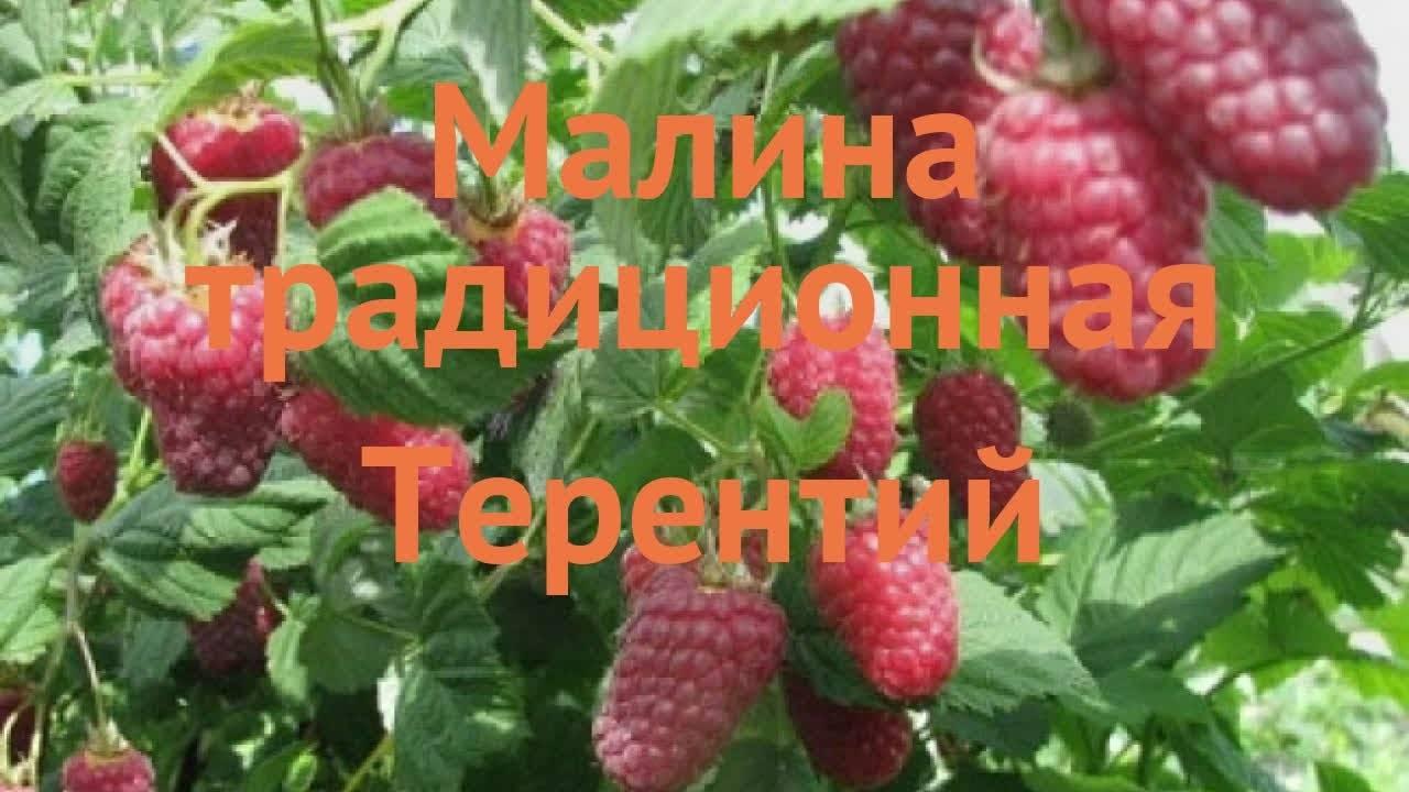 Сорт малины таганка: характеристика, особенности выращивания, сроки созревания