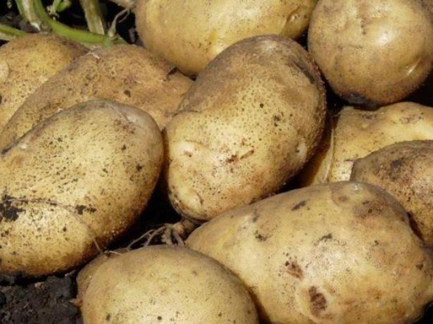 Картофель молли — описание сорта, фото, отзывы, посадка и уход