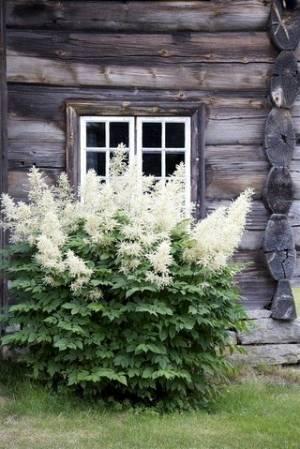Цветочная культура астильба: посадка и уход в открытом грунте, рекомендации по выращиванию оригинального декоративного многолетника