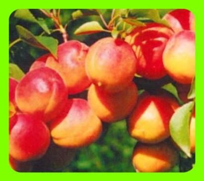 О посадке и правильном уходе за абрикосом в сибири: агротехника выращивания
