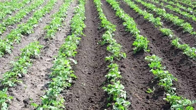 Картофель аризона: описание сорта, фото, отзывы дачников, характеристика и вкусовые качества картошки