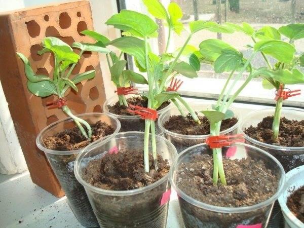 Зачем и как прививать дыню на тыкву
