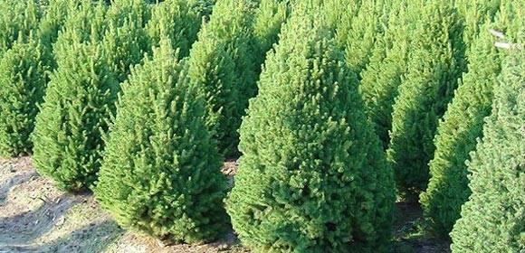Ель коника – посадка и уход за декоративным растением