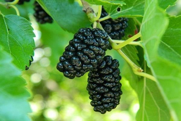 Особенности выращивания и ухода за плакучей шелковицей