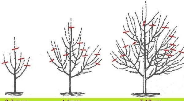 Как правильно обрезать яблоню в осенний период?