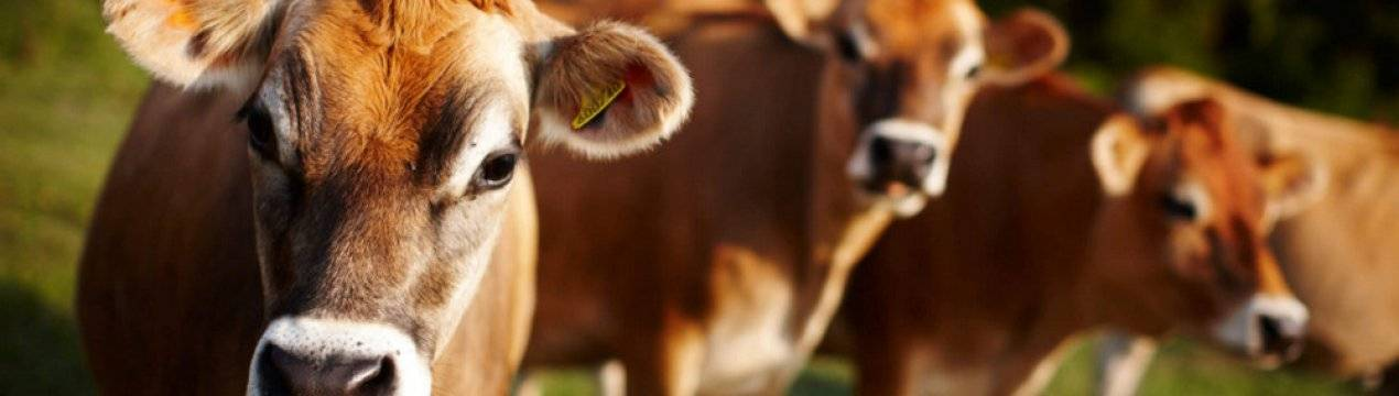 Лишай у коровы можно ли пить молоко