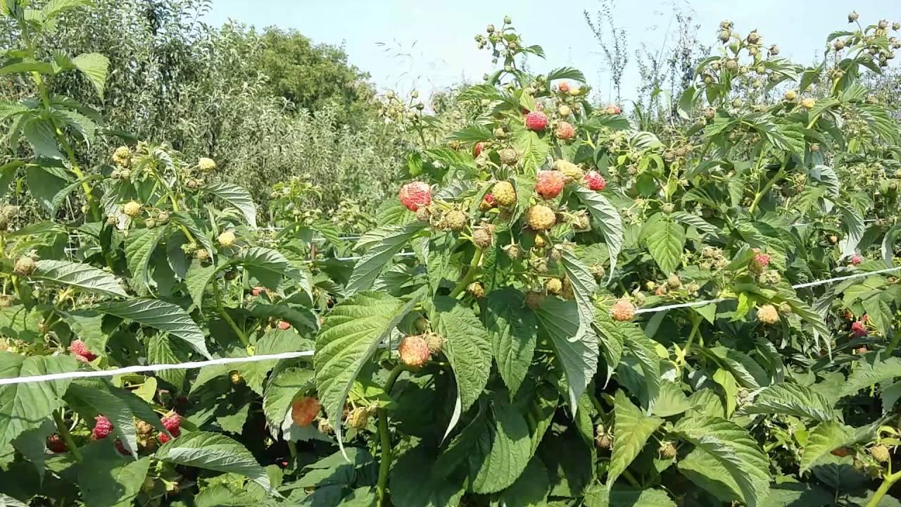 Сорт малины бабье лето, особенности, технология выращивания