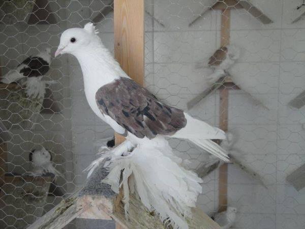 Иранские головатые голуби. голуби ирана