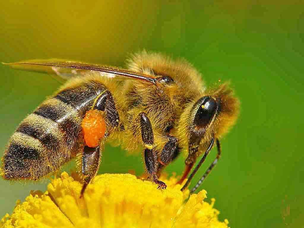 Дикие пчелы – это не только ценный мед, но и прополис, мумиё и маточное молочко