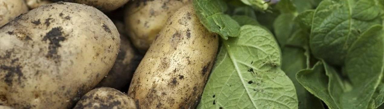 Когда и как копать картофель