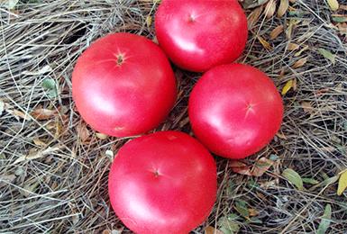 Инструкция по выращиванию томата «малиновый звон»: наслаждаемся красивыми крупными плодами