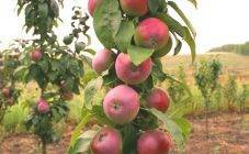 Колоновидная яблоня «васюган» — описание сорта, посадка и уход, фото