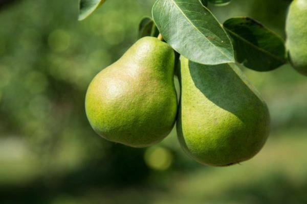 Описание сорта груши августовская роса