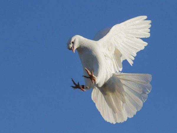 Чем знамениты иранские голуби?