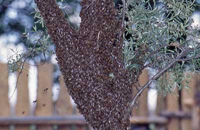 Роение пчел: признаки, предупреждение роения, особенности процесса и поиск нового роя (90 фото)