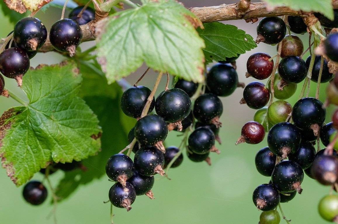 Правильная обрезка чёрной смородины весной – залог хорошего урожая