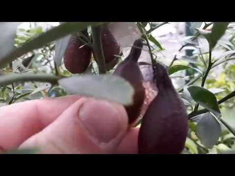 Австралийский пальчиковый лайм