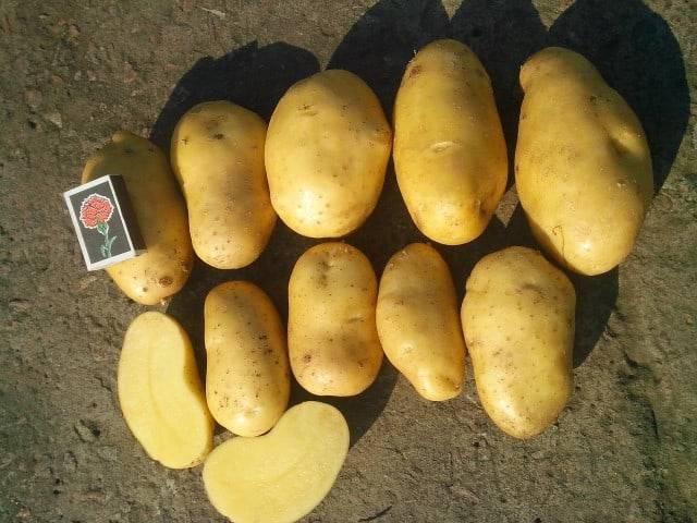 Картофель гранада: описание, полная характеристика, посадка, уход