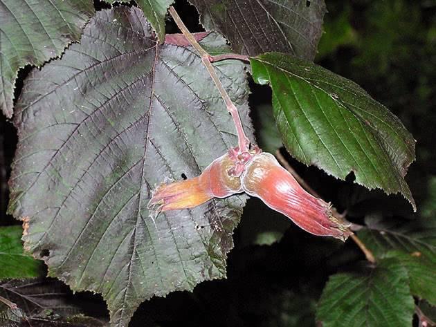 Лещина (обыкновенная) — 80 фото. способы размножения и выращивания кустарника на дачном участке