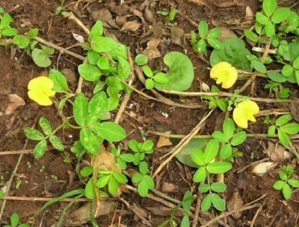 Выращивание арахиса - инструкция с пошаговым описанием!