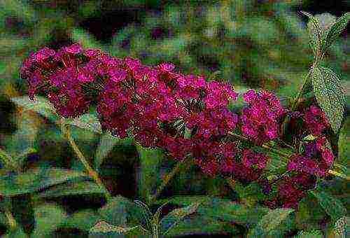 Особенности выращивания буддлеи давида: посадка и уход за кустарником в саду