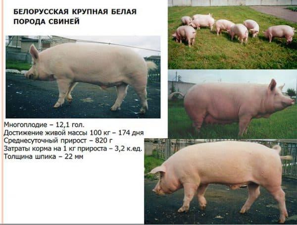 Какой выход мяса у свиней в процентах