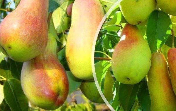 Груша брянская красавица: описание раннего сорта, посадка и уход, отзывы