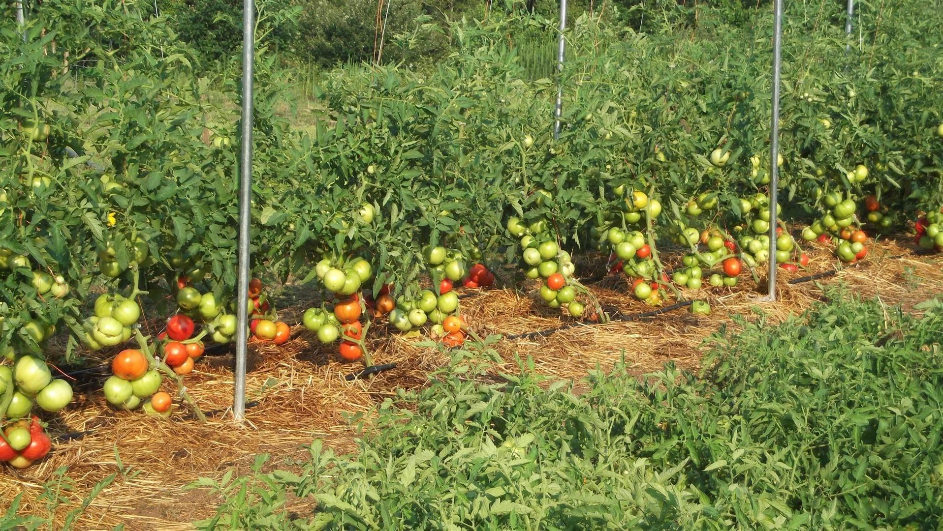 Подкормка томатов дрожжами для роста и урожайности