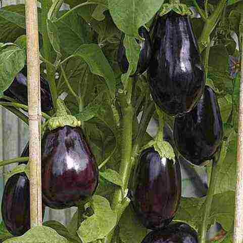 Самые популярные и урожайные сорта баклажанов для выращивания в открытом грунте и правила выбора семян