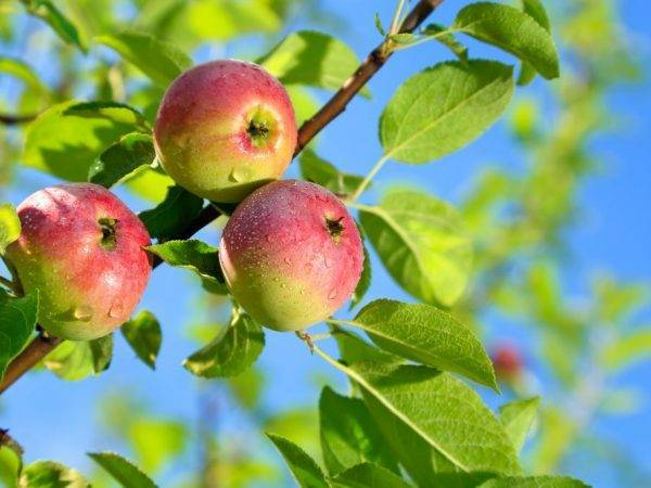 Яблоня елена – 8 особенностей и 10 советов по посадке и уходу