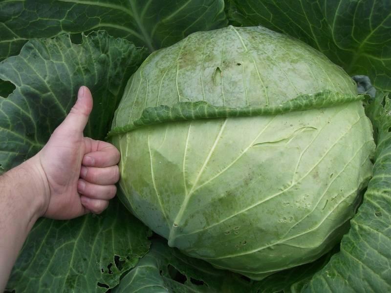 Характеристика сорта капусты мегатон — правила выращивания и ухода + фото