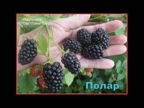 Характеристика и особенности выращивания ежевики полар берри (polar berry)