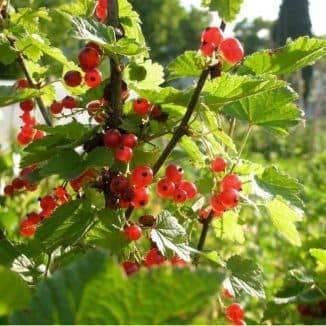 Сорта красной смородины: описание и характеристики, уход и выращивание