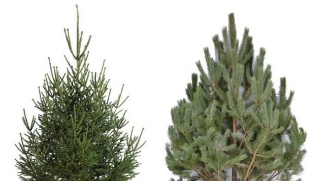 Чем ель отличается от елки?