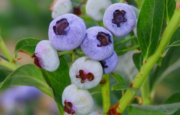 Голубика нортланд описание сорта — ягоды грибы