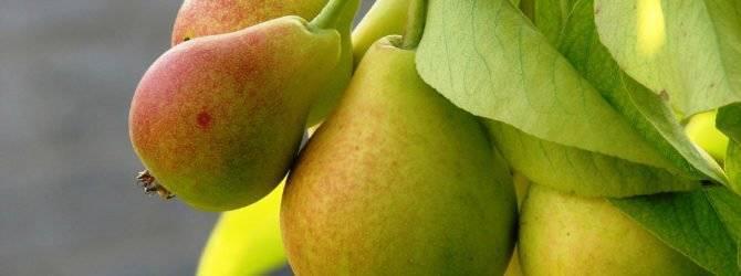 Ботаническое описание и особенности выращивания груши сорта северянка краснощёкая
