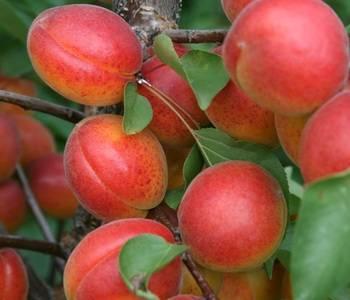 Особенности выращивания и характеристика сорта абрикоса медовый