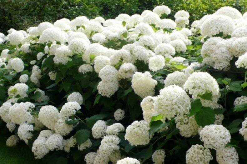 Гортензия анабель: описание сорта, посадка, уход, выращивание и отзывы