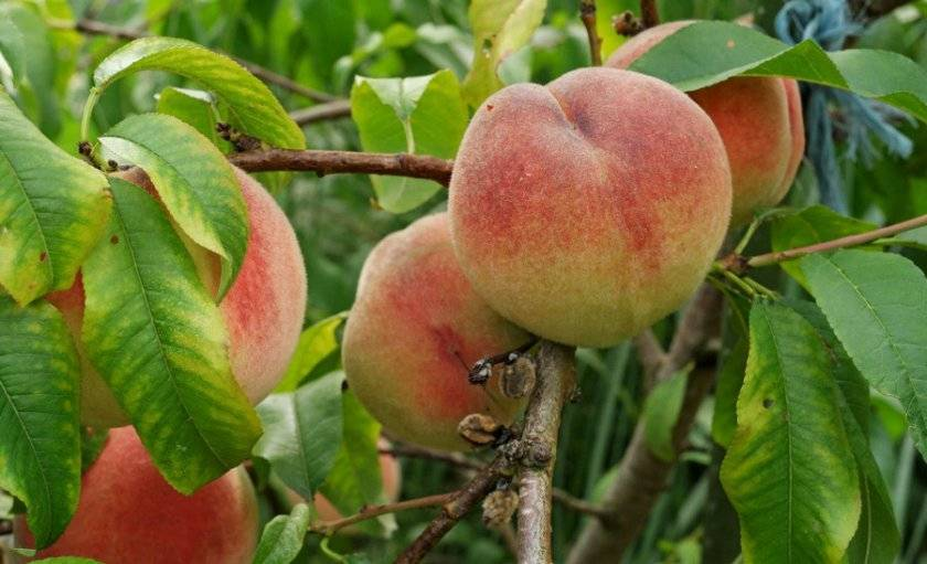 Главные правила выращивания персика сорта белый лебедь