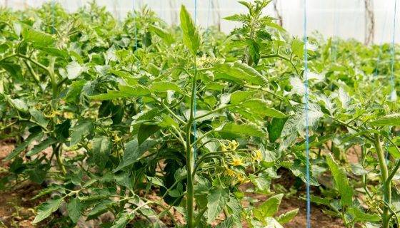 Характеристика необычных томатов сорта данко и описание плодов